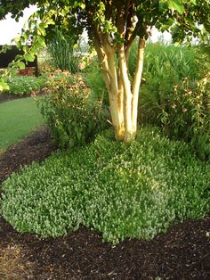 Thyme Used as Groundcover in Landscape..also for around stones in pathways