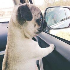Curious pug