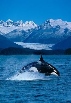 Someday I'm going to see orcas in the wild - Jumping Orca by John Hyde