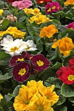 Primula az egyik legkedveltebb és legkedvezőbb árú kora tavasszal nyíló virág. Sokféle színe vidámságot és a tavaszt csempészi be otthonunkban. Kedvező ára miatt az egyik legtöbbet vásárolt nőnapi virág március 8-án. Plants, Planters, Plant, Planting