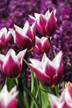 Keukenhof - Purple Tulips.