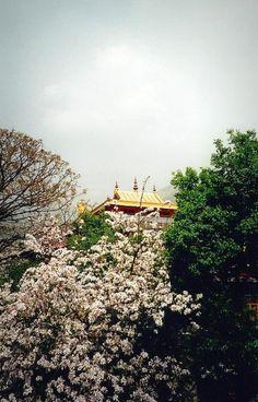 Photo : Avril à Darhamsala, Montagnes, Religions, Inde, Temples, Tibet, Cerisiers. Toutes les photos de sur L'Internaute