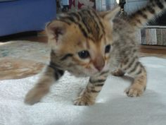 bangle cats for sale Bengal Kittens For Sale, Kitten For Sale, Cats For Sale, Sister Poems, Black Spot, 2 Months, Adorable Animals, Bangle, Kitty