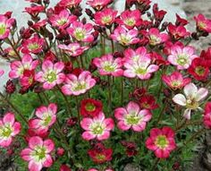Saxifraga 'Peter Pan' Rock Foil Red flowers open from tiny buds. The compact green foliage makes a great backdrop for the short flower stems. Attractive at garden's edge, in partially shaded rock gardens, or as a small-scale ground cover. Love Garden, Shade Garden, Garden Plants, Indoor Plants, Garden Ideas, Extensive Green Roof, Starting A Garden, Garden Edging, Annual Plants