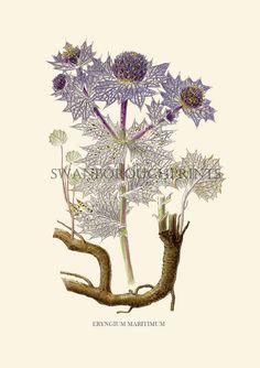 Eryngium thistle flower - Sea Holly - Botanical - coastal home decor - nautical theme - beach house decor - beach cottage - homespun society...