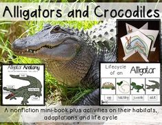 #Alligators and #Crocodiles: Life Cycle and Anatomy minibook plus activities: Great for units on animals, reptiles, life cycles, habitats or animal adaptations.