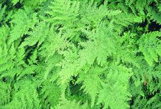 selaginella baunii groundcover for side of house