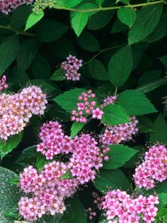 The Daphne Spirea is a pretty shrub that produces clusters of bright pink flowers in the summer used for cut flowers. It grows in a zone 4 up to 2 feet tall and 5 feet wide. It makes for a great hedge, color specimen, and border. Outdoor Landscaping, Front Yard Landscaping, Backyard Landscaping, Landscaping Ideas, Magic Carpet Spirea, Cut Flowers, Pink Flowers, Monrovia Plants, Plant Catalogs