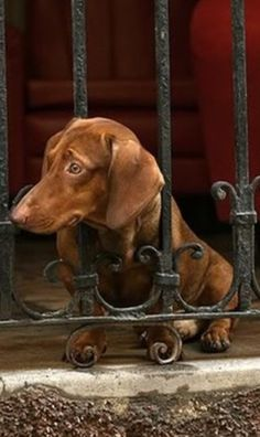 """""""Is there food and when will you be back?"""" #dogs #pets #Dachshunds…"""