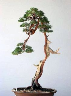 Starting your Bonsai Growing Project. The very first thing you will need to consider when starting to grow your own indoor bonsai trees is to select the species of trees that you will use. Selecting trees for use as bonsai… Continue Reading → Pine Bonsai, Indoor Bonsai Tree, Juniper Bonsai, Bonsai Art, Bonsai Plants, Bonsai Garden, Bonsai Trees, Bonsai Shop, Plantas Bonsai