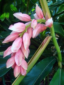 Alpinia 'Henryi Pink'. A compact, medium sized plant can handle full sun/part shade. Produces beautiful sprays of upright, pearly-pink flowers in spring. Prefers rich, well-drained soil.