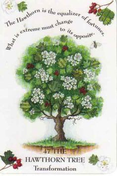 Hawthorn  Crataegus oxyacantha  The May Tree  Sixth month of the Celtic Tree calendar, May 13th - June 9  Sixth consonant of the Ogham alphabet