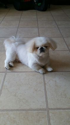 New hair cut....#Pekingese