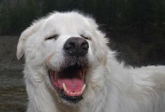 The best for last: Hedley, B. Maremma Sheepdog, Best For Last, His Travel, Wonderful Places, North America, Old Things, Puppies, Dogs, Animals