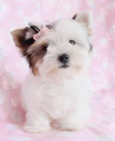 Adorable Lhasa Apso Puppy animals dog puppy pets cute animals lhasa apso