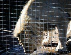 Lion at the Big Cat Park at Delheim Wine Estate in Stellenbosch, Cape Town. Cat Park, I Site, Cape Town, Big Cats, Lion, Leo, Lions