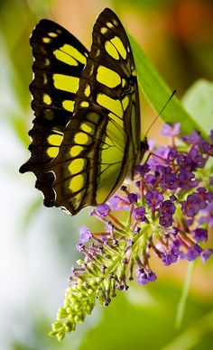 Malachite Butterfly on butterfly bush