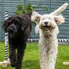 Freddie n Maisie the fit Labradoodles - BFF :) --- oh god I see...I think I have to take a break...