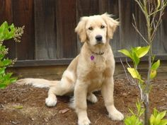 Uh Oh!  At that gangly stage!  golden retriever dance - Bing Images