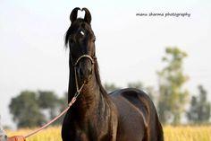 Equine Photography Arts & Passion Marwari stallion MANAK