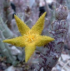Tridentea virescens