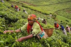 Coffee plantation, among contributors to Rwanda's economic growth