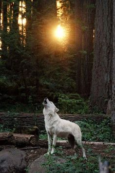 Grey Wolf at Sunset by Jeff Carlson on Lobo gris al atardecer de Jeff Carlson en 500 px Beautiful Wolves, Animals Beautiful, Cute Animals, Baby Animals, Wolf Love, Wolf Photography, Wildlife Photography, Camping Photography, Wolf Spirit