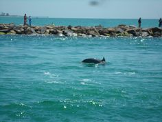 Dolphins swimming in the North Jetty off of Nokomis Beach, Florida. Photo Credit to Rose Kreger