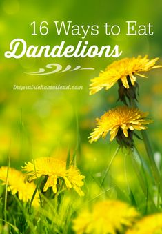 16 Dandelion Recipes Did you know you can eat dandelions? And they're packed full of nutrition. Learn the ropes with these 16 dandelion recipes. Healing Herbs, Medicinal Plants, Natural Healing, Dandelion Recipes, Dandelion Uses, Dandelion Salad, Edible Wild Plants, Wild Edibles, Home Remedies