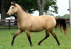Morgan mare. A pale buckskin. She also carries the silver gene which turns the black legs, mane, and tail of typical buckskins to a chocolate brown.