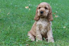 cutest Cocker Spaniel puppy <3