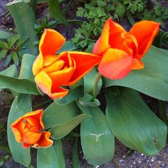 """@onzesuus's photo: """"Oranje boven. Oranje boven. Leven de koohooning. Klikt toch raar.  #koningsdag #oranje #tulpen #lente"""""""
