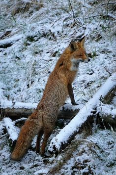 Red Fox by Michael Wolta