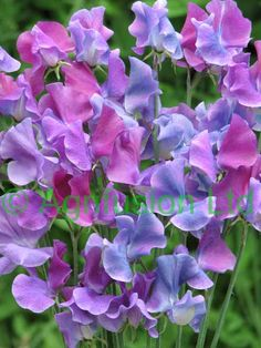 Sweet peas---have a sweet pea vine just outside my back door that crawls all over a trellis hubby made each summer.  They're so gorgeous!