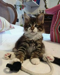 Click the Photo For More Adorable and Cute Cat Videos and Photos - Hunde und Katzen Cute Kittens, Cats And Kittens, Pretty Cats, Beautiful Cats, Animals And Pets, Cute Animals, Wild Animals, Baby Animals, Domestic Cat Breeds