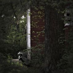 Badgers at the door - Finnish photographer Kai Fagerström presents unique photo series, where he captures wild animals making themselves comfortable in abandoned houses in the woods of Finland. Titled The House in the Woods Wild Animals Pictures, Animal Pictures, Abandoned Houses, Abandoned Places, Woodland House, Forest Cabin, Weird Pictures, Woodland Creatures, Animal House