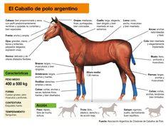El Caballo de Polo Argentino, un ejemplar único / Polo Argentino horse, a unique specimen – Argentina Polo Day Holiday Train, Polo Horse, Polo Team, Horse Saddles, Field Guide, Equestrian, The Incredibles, Horses, Unique