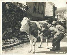 Soldats du 100e régiment d'infanterie traient une vache quelque part en Allemagne, le 16 mars 1945.