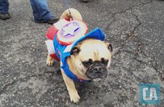 Captain Ameripug: The First Pugvenger - ComicsAlliance | Comic book culture, news, humor, commentary, and reviews