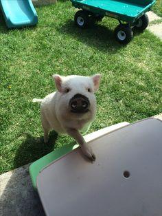 My pet Elmer, smiling:). Juliana pig