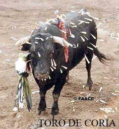 This not entertainment ... this is cruelty. Toro de Coria, Spain.