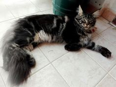 Maine Coon cat Baloo - brown tabby 6 months #mainecoon #kittens  #maineshag