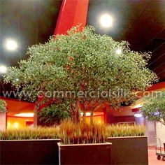 The decorative Aspen trees and logs created an immediate impact in the facility by establishing the northwoods theme requested by the client and by converting open, unusable spaces into more intimate and functional seating areas. http://www.commercialsilk.com/artificial-plant-case-study_artificial-olive-trees-for-choctaw-casino-expansion_13.aspx