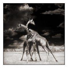 5dbbd9cde91 Amazing photographs by Nick Brandt Giraffe  blackandwhiteanimalphotography  Animal Pictures
