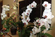 Как заставить орхидею цвести в домашних условиях? Есть один секрет… Орхидея не выпускает цветонос, тогда сделайте следующее… Не цветет после пересадки, остановилась, не пускает стрелу, растут листья и другие проблемы можно решить…