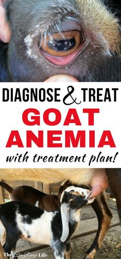 Anemia in goats can be a silent killer. Learn now to diagnose and treat anemia in your goats so they stay at their healthiest. Raising Goats | Goat Care | Raising Goats for Beginners | Goat Health