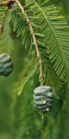 Dawn Redwood Tree Pine Cone at Leonard J. Buck Garden of Far Hills New Jersey
