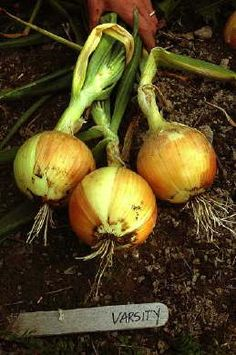 'Varisty' onion from Fedco, I've heard good things about this one for northern gardens - may have to try next year. #garden #grow_your_own #edible_garden