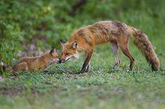 Moment of tenderness - Renard roux / Red fox / Vulpes vulpes by RichardDumoulin, via Flickr