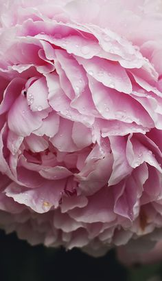 Suvi sur le vif pink peony